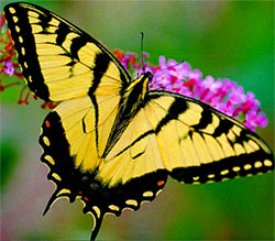 Yellow Monarch Butterfly Meaning